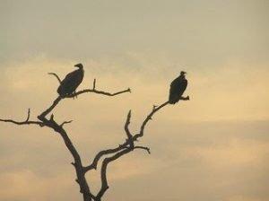 Ecologia animale: avvoltoi come operatori sanitari